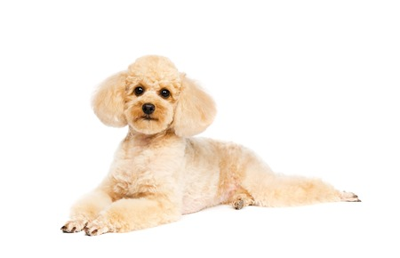 Poodle lying on a white background and looking forward. Dog apricot.
