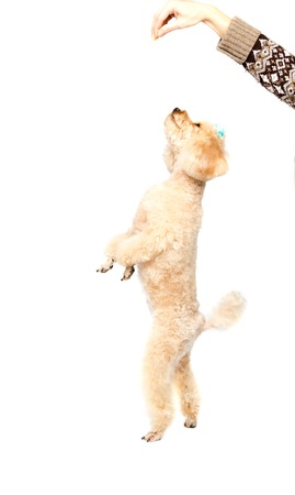 dog grooming: Apricot poodle standing on hind legs and looking up on a white background