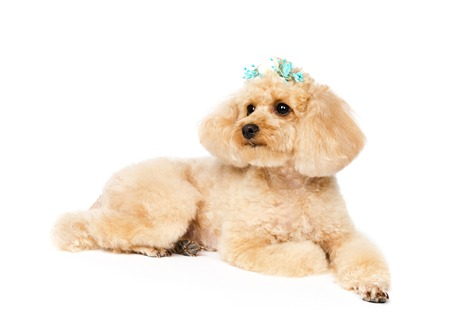 A dog lies and looks upwards. Toy poodle with a hairpin on a white background.
