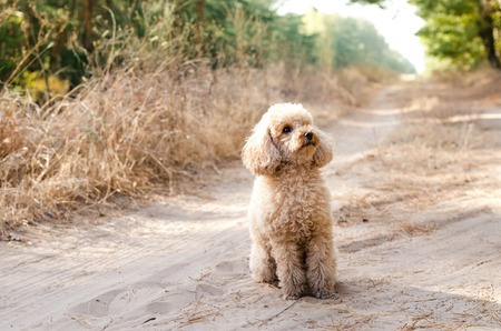 Toy poodle sitting on the road in the woods. Walking the dog.