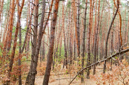 Pine forest in autumn. Many tree trunks. Natural background. Archivio Fotografico