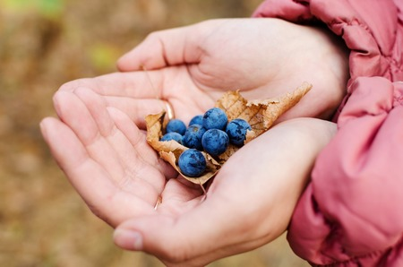 Blue blackthorn berries in the hands of the girl. Autumn forest. Blurring background.