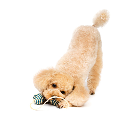 Small poodle play with toys on white background.