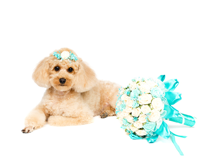 Peach Poodle lying on a white background with a wedding bouquet. Archivio Fotografico