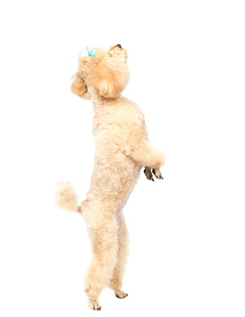 Toy poodle stands on his hind legs and looking up.