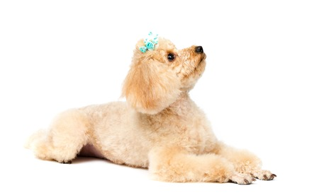 Toy poodle lying on white background and looking up.