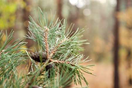Green pine branch with cones in the autumn forest. Blurring background.