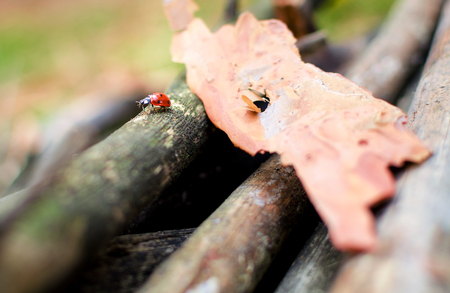 To focus ladybug crawling on the branches in the autumn forest.