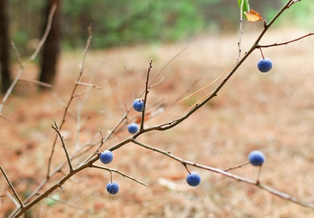 Bush with blue berries of thorns in the autumn forest. Blurring background. Archivio Fotografico