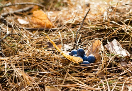 Blueberries on the dry pine needles, bright sunshine