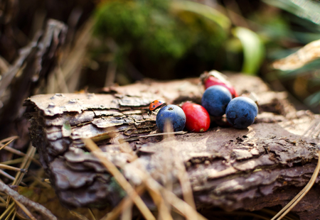 Red and blue berries on an old stump in the autumn forest.