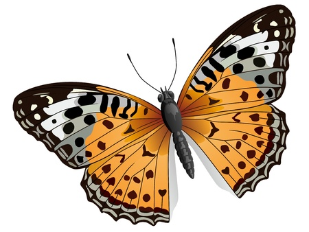 motley: illustration of some orange butterfly(with orange, white, black wings) isolated on white. Illustration