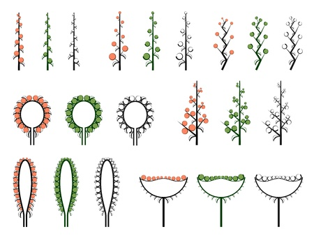 raceme: Set of vector different types of inflorescence, scientific scheme of flower on stalk (botany), isolated on white.