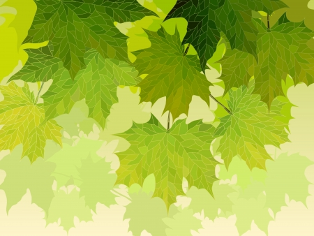 illustration for background: crown of maple tree with green leaves.