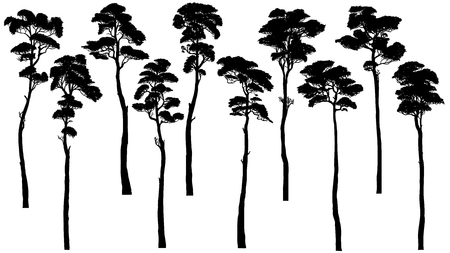 Set of vector silhouettes of tall trees with leaves (pine, cedar, sequoia).