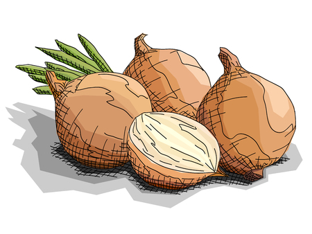 Vector illustration graphic arts sketch of drawing vegetable onions with half.