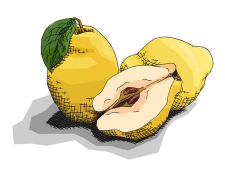 Vector illustration graphic arts sketch of drawing fruit quinces with half.