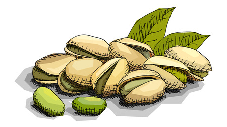 Vector illustration graphic arts sketch of drawing nut pistachios.