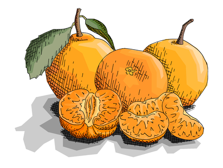 Vector illustration graphic sketch of drawing fruits three mandarins with slices. Ilustrace