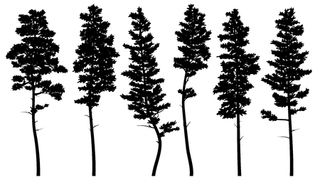 Set of vector silhouettes of tall pine trees (cedar).