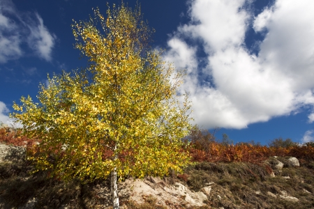 Yellow birch tree and blue sky in fall Stock Photo - 16184018