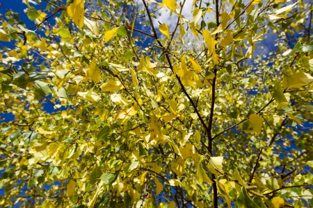 Autumn yellow leaves on a birch tree Stock Photo - 16184012