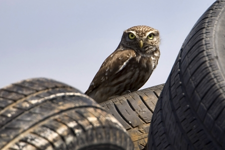 An Little Owl (Athene noctua) sitting on a tire on May 24, 2010 Axios Delta River, Greece  photo