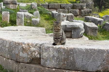 greek goddess: Cat sitting in ancient column of the Temple of Apollo in Delphi Greece