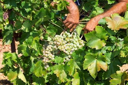 Farmers picking wine grapes during harvest at a vineyard, shallow dof photo