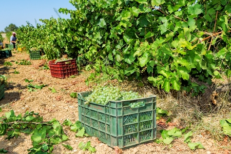 WIne grapes in crate boxes after harvesting at a vineyard, shallow dof