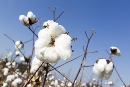 Cotton fields white with ripe cotton ready for harvesting