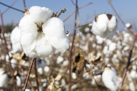 熟した綿収穫の準備ができてと白の綿畑 写真素材