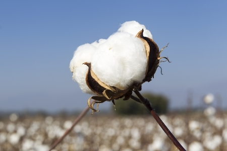 Cotton fields white with ripe cotton ready for harvesting photo
