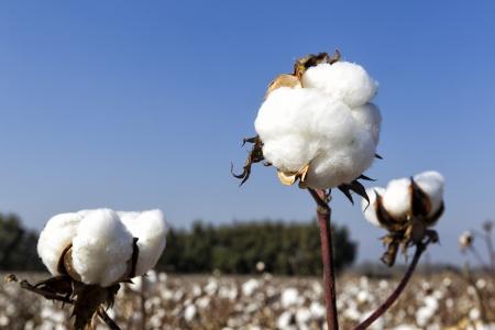 materia prima: De algodón blancas de algodón madura campos listos para la cosecha