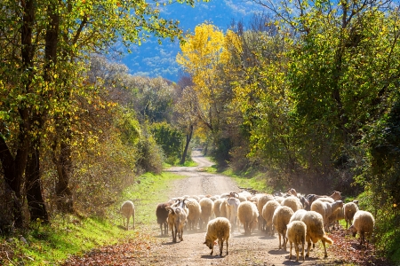 Sheep traffic on the road between autumn trees photo