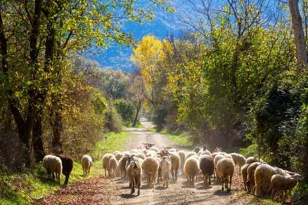 Sheep traffic on the road between autumn trees 版權商用圖片