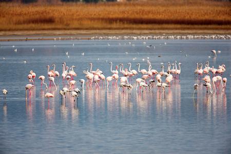 Flamingo (Phoenicopterus roseus) in a lake photo