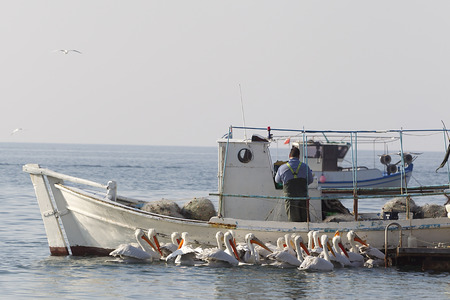 Fishing Boat and the fisherman surrounded by pelicans, in Greece.
