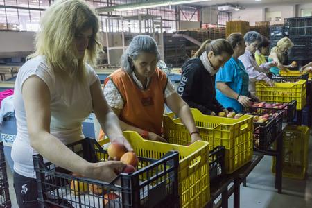 """cooperativismo: NAOUSSA GRECIA- 20 de agosto 2014: Las mujeres que trabajan en la f�brica de la Cooperativa Agr�cola de Naoussa Grecia. Los famosos """"Naoussa Peaches"""" son el principal producto de la zona. La producci�n de frutos. Editorial"""