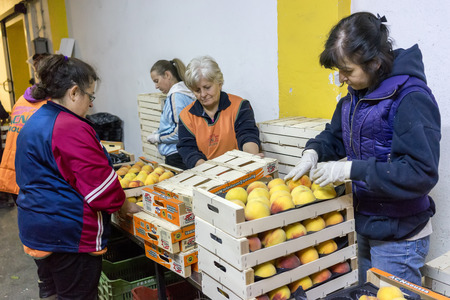 cooperative: NAOUSSA GREECE- AUGUST 20 2014: Women working at the factory of Agricultural Cooperative of Naoussa Greece. The famous Naoussa Peaches are the area's main product. Fruit production. Editorial