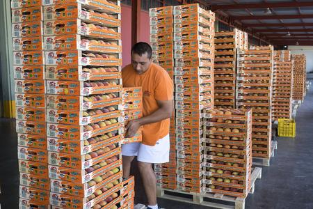 """cooperativismo: NAOUSSA GRECIA- 20 de agosto 2014: Productos de la Cooperativa Agr�cola de Naoussa Grecia transportados en cajas. Los famosos """"Naoussa Peaches"""" son el principal producto de la zona. La producci�n de frutos."""