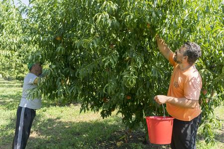 """cooperativismo: NAOUSSA GRECIA- 20 de agosto 2014: Los trabajadores recogiendo melocotones de los �rboles en la f�brica de la Cooperativa Agr�cola de Naoussa Grecia. Los famosos """"Naoussa Peaches"""" son el principal producto de la zona."""