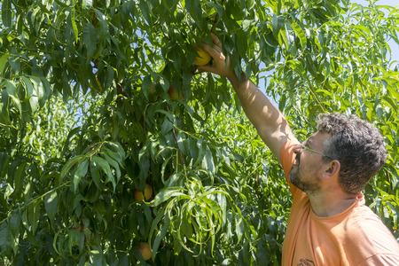 """cooperativa: NAOUSSA GRECIA- 20 de agosto 2014: Los trabajadores recogiendo melocotones de los �rboles en la f�brica de la Cooperativa Agr�cola de Naoussa Grecia. Los famosos """"Naoussa Peaches"""" son el principal producto de la zona."""