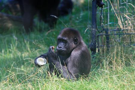 Black gorilla in Arnhem Zoo