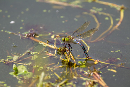 mating colors: Dragonfly in Arnhem Zoo.
