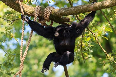 Chimpanzee in Arnhem Zoo