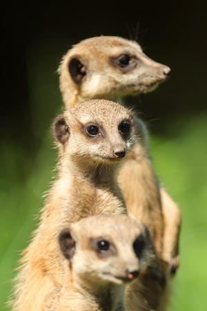 animales del zoologico: Meerkat (Suricata Suricata) que se encuentra en Arnhem Zoo Foto de archivo