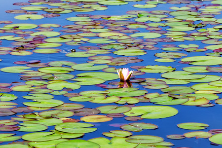 plenitude: Water lilies on a small Lake. Nature background.