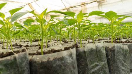small pepper plants in a greenhouse for transplanting photo
