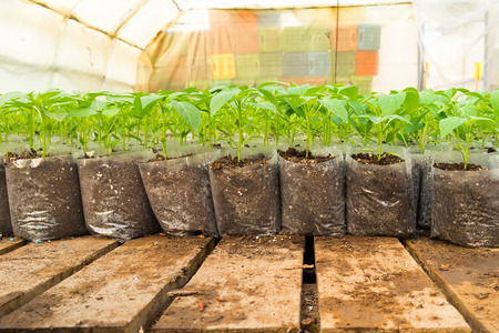 market gardener: small pepper plants in a greenhouse for transplanting